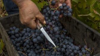 La Causa – Torres sagoprojekt i Chiles historiska vinområde