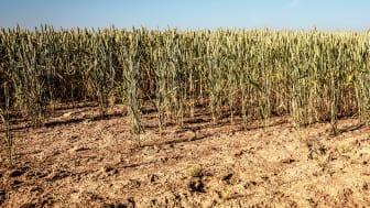 Den omfattende hetebølgen og tørken i 2018 hadde negativ innvirkning på vegetasjonen over hele Vest- og Nord-Europa. Foto: Colourbox