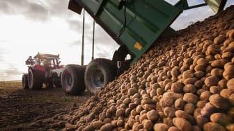Nya användningsområden för potatis genom utvärdering med gensax