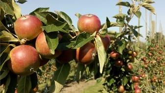 Årets äppelskörd var på många ställen ovanligt stor. Foto: Ulrika Samnegård