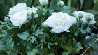 Månadens blomma - mars 2009