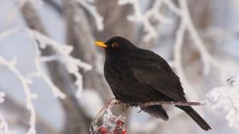För många fågelmatare är koltrasten en trogen gäst på fågelbordet under de mörka vintermånaderna. Foto: Hans Bister