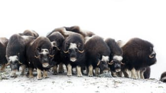 Musk oxen at Dovre mountains. Photo: Asgeir Helgestad / VisitNorway.com