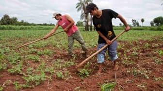 En fjärdedel av jordens människor är i dag beroende av jordbruket för sin inkomst. Fotograf: Martin Höcker.