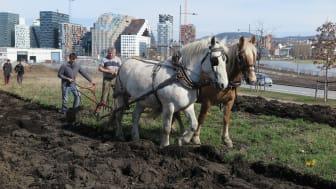 Sparebankstiftelsen DNB har denne våren mottatt mange søknader om støtte til dyrkeprosjekter og urbant landbruk. En av de som får støtte er Norges Bondelag til sitt Bybonde-prosjekt i Bjørvika i Oslo. (Foto: Vibeke Hermanrud)