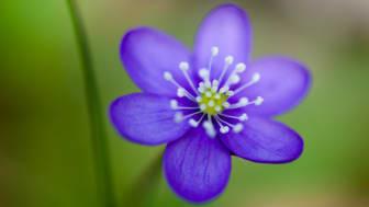 Blåsippa (Hepatica nobilis), en vårblomma som inkluderades i studien (foto: Alistair Auffret).