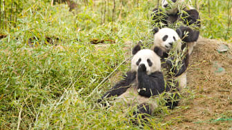 Jättepandor. Källa: Chi King/Wikimedia Commons (https://commons.wikimedia.org/wiki/File:Giant_Pandas_having_a_snack.jpg)