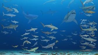 Håbrandsartade hajar och gråhajsartade hajar under de senaste 83 miljoner åren. Illustration: José Vitor Silva