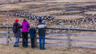 Besökare vid Trandansen, Hornborgasjön. Foto: Jesper Anhede