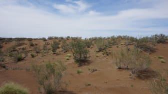 Ökenstäpp i södra Gurbantunggutöknen