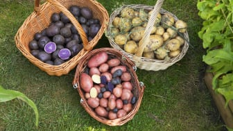 Foto: Ann Malmgren - Kartoffelhøst