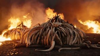 Antropocen: Bränning av elefantbetar, Nairobi National Park, Kenya 2018