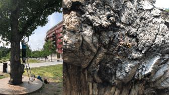 Calluna AB utför en spännande insektsstudie i Norra Djurgårdsstaden åt Stockholms stad. Foton: Anna Koffman (Calluna AB).