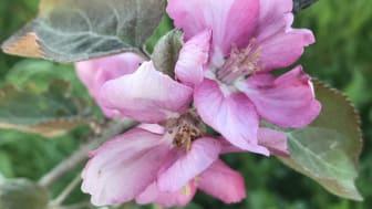 Blommer från äppelsorten Veiniõun i den subarktiska äppelodlingen i Röbäcksdalen