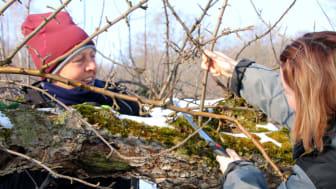 Carina och Caroline på Kiviks Musteri beskär äppelträd.