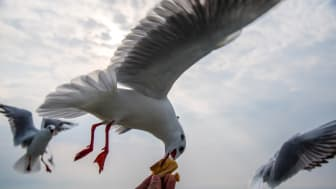 EXPERT COMMENT: Ruffled feathers: angry Britons' battle with dive-bombing birds moves inland