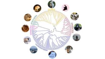 """""""Jämförelsen av arvsmassorna hos dessa 240 däggdjur kommer att hjälpa genetiker att identifiera de mutationer som ger upphov till människans komplexa sjukdomar,"""" säger Kerstin Lindblad-Toh."""