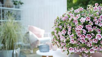 Småpetunian Double PinkTastic är en av årets trevliga nyheter.
