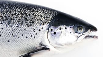 August-rekord for lakseeksporten (c) Norges sjømatråd