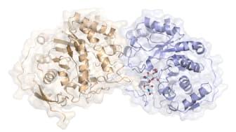 Bilden visar den tredimensionella strukturen hos ett enzym (exobetamannosidas) som spjälkar en av bindningarna i N-glykanets innersta del, den så kallade glykankärnan