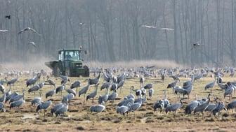 Tranorna matas vid Pulken för att förebygga skador på vårsådden. Samtidigt blir de lätta att se från fågeltornet