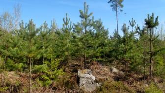 Ett av EU:s hållbarhetskrav är föryngring efter avverkning.