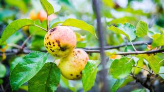 Sigtuna Sur är en unik äppelsort från ett över 200 år gammalt äppleträd som bevarats i Sigtuna stadsängar