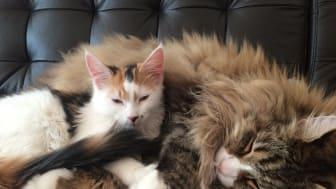 Höftledsdysplasi kan vara smärtsamt för katten, men det kan vara svårt att avgöra hur ont den har. Ett tecken är om den till exempel undviker att hoppa upp på bord. Foto: Åsa Ohlsson