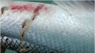 En av hovedutfordringene for akvakulturnæringen er lakselus, Lepeophtheirus salmonis. (Foto: Wikimedia)