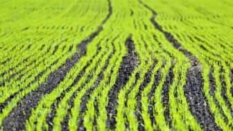 Ny rapport: efter 40 år av skånskt kretslopp – slamanvändning på åkermark medför inget ökat upptag av metaller i grödan