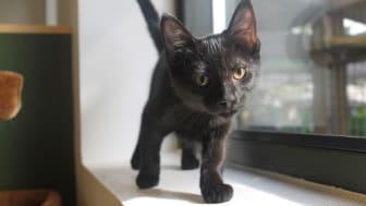 Sorte katte er fantastiske!! Se bare lækre Mette herover... Hun sidder lige nu i Brøndby, og savner sin helt egen familie.