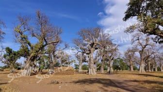Baobabs avec des terres cultivées récoltées en dessous