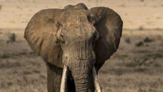 Elefant med stora betar, Tsavo, Kenya