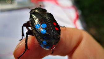Läderbaggarna har klarat de senaste 25 åren bra men kan bli hemlösa på sikt