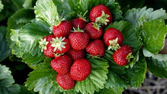 Lars Gensmann Nilsson har mer än 40 års erfarenhet av att odla jordgubbar och han ger oss de bästa tipsen för att lyckas.