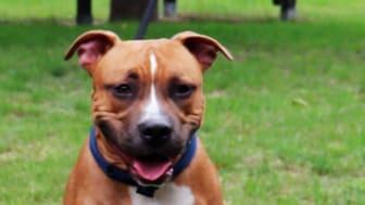 Staffordshire-Terrier-Mischling ausgesetzt