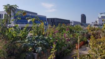 Taken er en sjeldent utnyttet ressurs, som kan komme både mennesker og insekter til gode. På toppen av Greenhouse Oslo blomstrer det om sommeren.