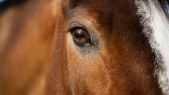 Bl a hästforskningen vid SLU får nu bidrag från Marie-Claire Cronstedts stiftelse.