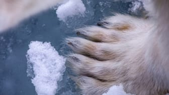 Polar bear foot