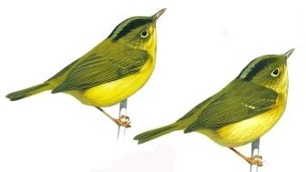 Varför så många fågelarter i östra Himalaya – och varför inte ännu fler?