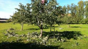 Fruktträdsbeskärning för framtida goda skördar