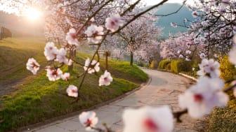 Sørlige vinrute: mandelblomstring; ©Rheinland-Pfalz Tourismus; F: Dominik Ketz
