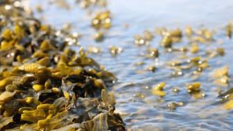 Orkla hakee ratkaisuja tulevaisuuden ruokatuotantoon investoimalla merilevään
