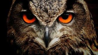 Kraftringen hjälper Skånes Ornitologiska Förening i deras arbete med att rädda den skånska berguven