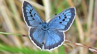 Svartfläckig blåvinge är en av fjärilarna som gästar naturreservaten Drakamöllan, Kumlan och Maglehem. Den har fått ge namn åt vår nya vandringsled. Foto.:an Andersson