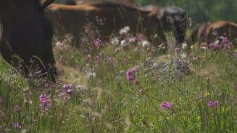 Betande djur är avgörande för att behålla mångfalden i marker som inte kan brukas på andra sätt. Om Sverige ska nå miljömålet om ett rikt odlingslandskap behöver betandet på naturbetesmarkerna öka.