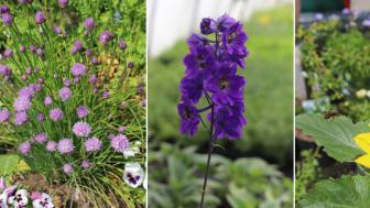 Blühende Kräuter, Rittersporn und Sonnenblumen ziehen Bienen an und eignen sich perfekt, um einen bienenfreundlichen Garten zu gestalten.
