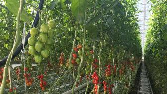 Bilden visar tomatodling i Vänersborgs kommun