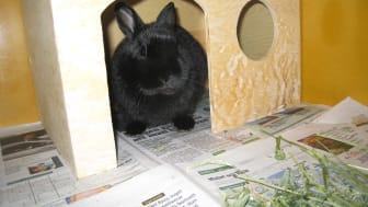 Evidensias djursjukhus i Roslagstull; nyligen kastrerad kanin som precis vaknat ur narkos