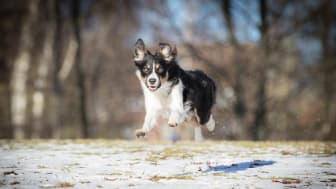 Border collie kontorshund
